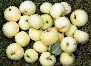 Яблоня белый налив (подвой 54-118) высота от 120см