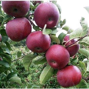 Яблоня макинтош (подвой 54-118) высота от 120см
