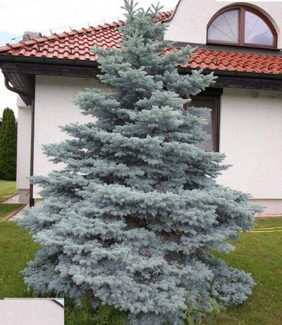 Питомник Саженцы на Золотарях. — Хвойные деревья — Декоративнолистные