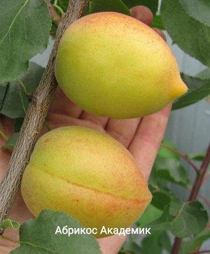 Саженцы абрикоса Академик