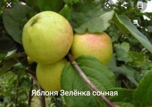 Яблоня, Зеленка сочная