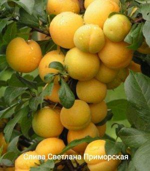 Слива Светлана Приморская