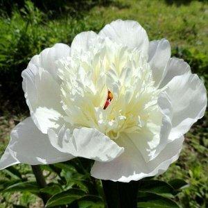 Иммакули Рассада и саженцы Пиона травянистого Иммакули (Immaculee Paeonia) вызовут интерес у любителей разнообразности расцветки. Сначала крупные цветки будут иметь перламутрово-розовый цвет, который