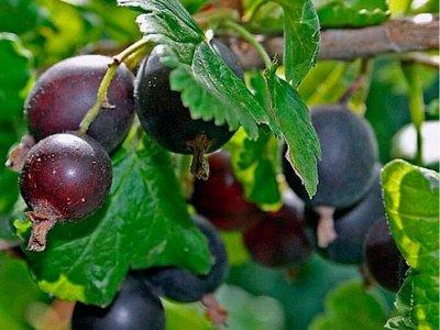 Саженцы- вашей мечты🌿 В пути — Йошта: — Плодово-ягодные
