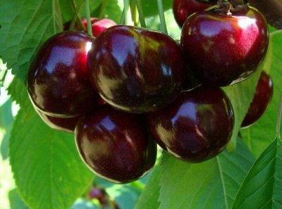 Саженцы- вашей мечты🌿 В пути — Черешня. — Плодово-ягодные