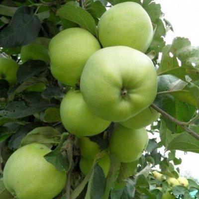 Саженцы- вашей мечты🌿 В пути — Яблоня. — Плодово-ягодные