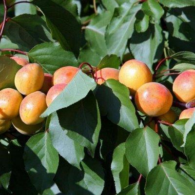 Саженцы- вашей мечты🌿 В пути — Абрикос. — Плодово-ягодные
