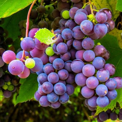 Саженцы плодовых и декоративных растений! Последняя в сезоне — Виноград плодовый — Плодово-ягодные