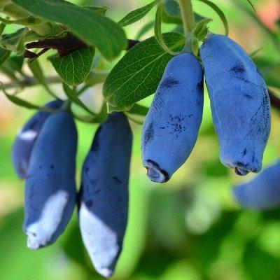 Саженцы плодовых и декоративных растений! Последняя в сезоне — Жимолость — Плодово-ягодные