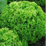 Богатый выбор семян и разные огородные нужности.(Наличие) — Зелень — Семена овощей