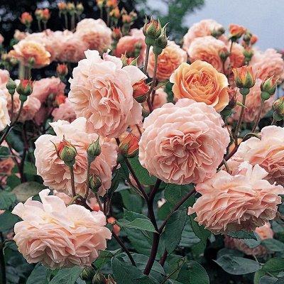 Невероятные сорта! Лилии, розы, пионы! На осеннюю посадку!  — Английские розы — Декоративноцветущие