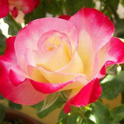 Невероятные сорта! Лилии, розы, пионы! На осеннюю посадку!  — Чайно-гибридные розы — Декоративноцветущие