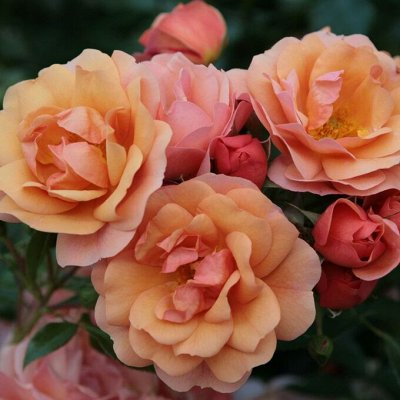 Невероятные сорта! Лилии, розы, пионы! На осеннюю посадку!  — Розы флорибунда — Декоративноцветущие