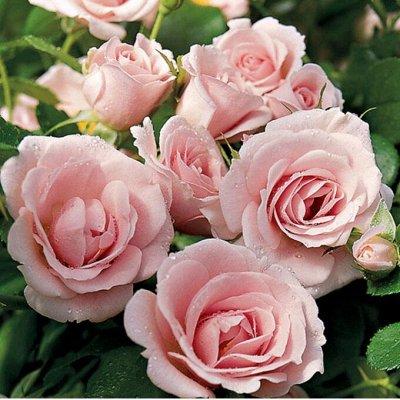 Невероятные сорта! Лилии, розы, пионы! На осеннюю посадку!  — Почво-покровные розы — Декоративноцветущие