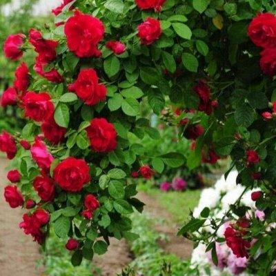 Невероятные сорта! Лилии, розы, пионы! На осеннюю посадку!  — Плетистые розы — Декоративноцветущие
