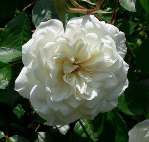 Белый каскад (WHITE CASCADE)