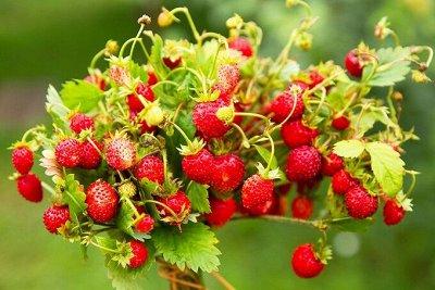 Сортовая клубника рассада Весна_21 — Рассада клубники и земляники — Плодово-ягодные
