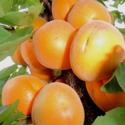 Отечественная плодовка на весну 2022 — Абрикос, слива, алыча, рябина