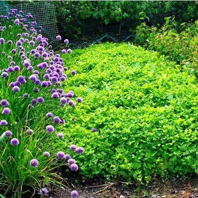 Богатый выбор семян и разные огородные нужности.(Наличие) — Сидераты, газонная трава — Семена газонных трав