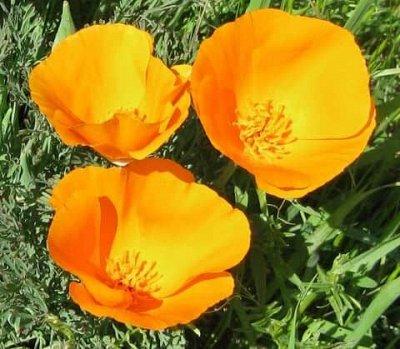 Семена от бегонии до петунии, а также семена овощей и зелени — Цветы однолетние, — Семена цветов