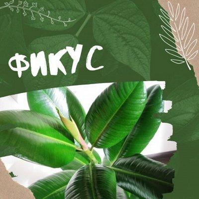 Хищный Sale! Огромный выбор комнатных растений!  — Фикус — Декоративнолистные