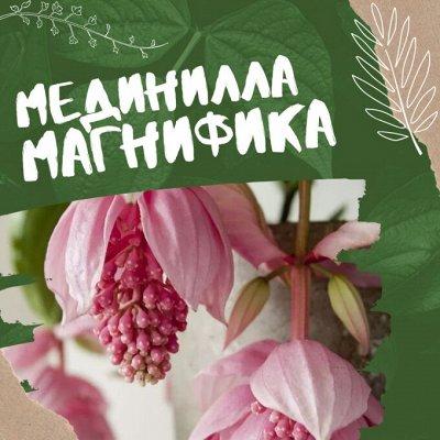 Хищный Sale! Огромный выбор комнатных растений!  — Экзотическая красавица - МЕДИНИЛЛА МАГНИФИКА — Декоративноцветущие