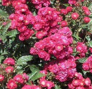 Розы Сибири — лучшие сорта! Предзаказ весна 2022 — Почвопокровные