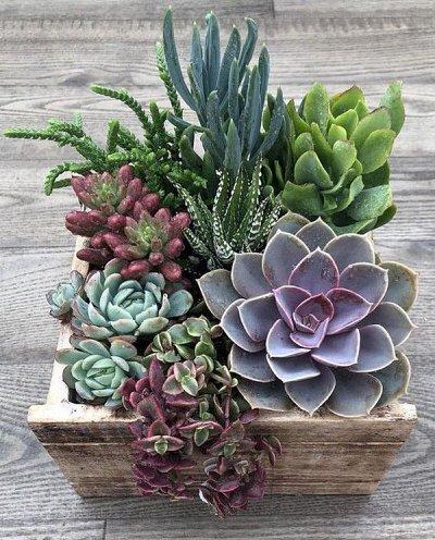 Цветочная - цветущие цикламены - 280 р — суккуленты и кактусы — Декоративнолистные