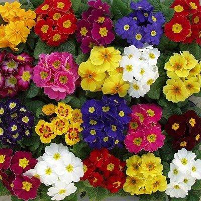 Цветочная - много новинок😍    — примула — Декоративноцветущие