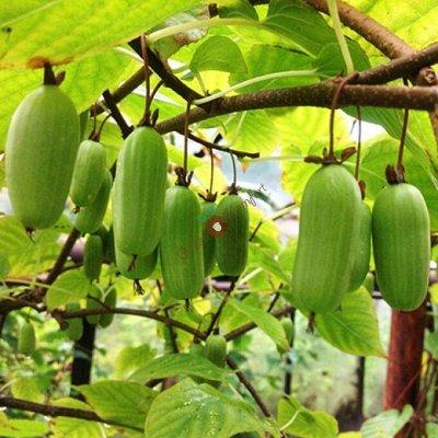 Садовая закупка-семена,саженцы,луковицы, удобрения-в наличии — Плодовые кустарники — Плодово-ягодные