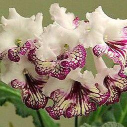 Цветочная - цветущие цикламены - 280 р — стрептокарпусы — Декоративноцветущие