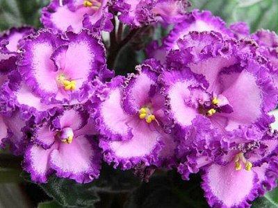 Цветочная - цветущие цикламены - 280 р — укорененные листы фиалок — Декоративноцветущие