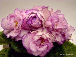 АВ Розовые розы