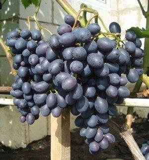 Виноград Краса Никополя (Код: 77416)