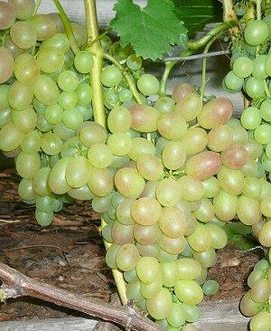 Виноград Тасон (Код: 77603)