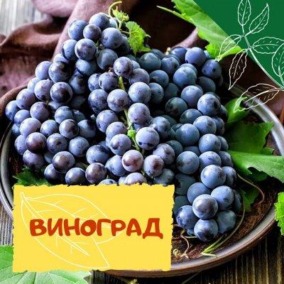 Плодовые! Малиновые деревья! Саженцы гигантской ежевики!  — Виноград — Плодово-ягодные