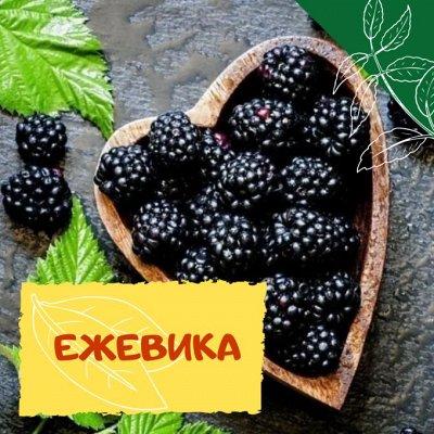 Плодовые! Малиновые деревья! Саженцы гигантской ежевики!  — Ежевика — Плодово-ягодные