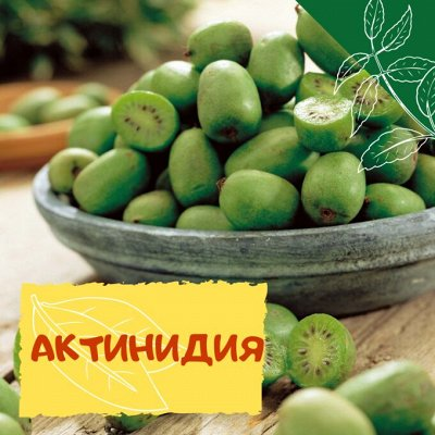Плодовые! Малиновые деревья! Саженцы гигантской ежевики!  — Актинидия — Плодово-ягодные