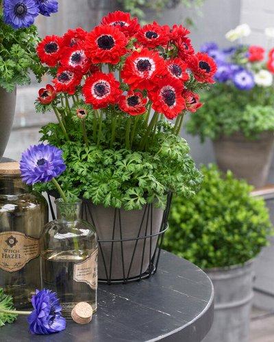Фриттилярия, анемоны, фрезии и др. цветы дома — Анемоны_Новинки для выгонки — Декоративноцветущие