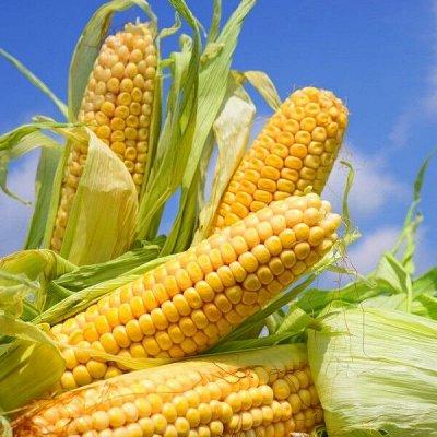 Семена ГАВРИШ- гарантия качества. В пути — КУКУРУЗА — Семена овощей