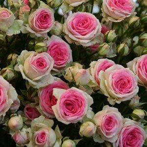 Мими Эден Внутренняя часть цветка состоит из розовых лепестков, а снаружи лепестки почти белые. Диаметр цветков 4-6 см, собраны в соцветия до 20 бутонов.  Шипов у этого сорта практически нет. Кустики