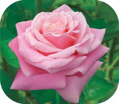 Семена Алтая. РОЗЫ🌹 В ПУТИ!!! Количество ограничено!!! — Розы — Декоративноцветущие