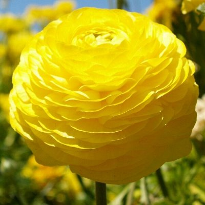 Семена плодово-ягодных кустарников и других растений — Семена многолетних цветов — Семена многолетние