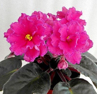 Цветочный калейдоскоп ФИАЛКИ