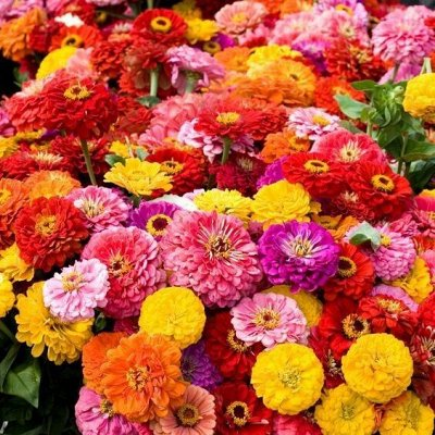 Огромная распродажа семян! +Предзаказ крутого чеснока и лука — Цинния (семена) — Семена однолетние