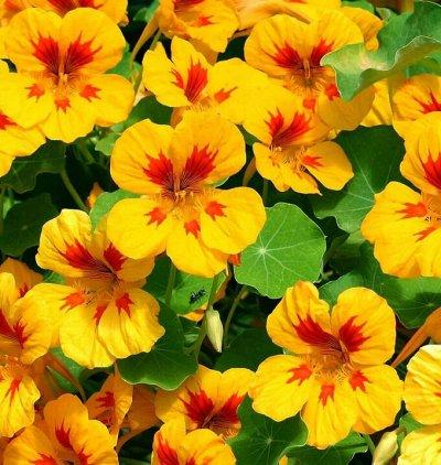 Огромная распродажа семян! +Предзаказ крутого чеснока и лука — Настурция (семена) — Семена однолетние