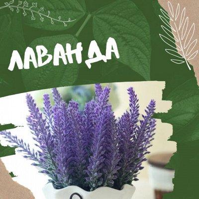 Хищный Sale! Огромный выбор комнатных растений!  — Ароматнейшая лаванда — Декоративноцветущие