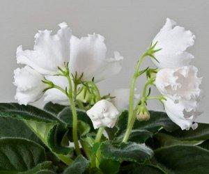 Фиалка Стандарт по размеру, фиалка с красивыми зелёными листьями типа Лонгифолия, (паукообразные листья). Крупные белоснежные колокольчики с волнистыми краями лепестков. Зацветает рано, цветет охотно,
