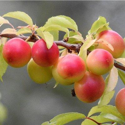 Сибирские Саженцы плодово-ягодных 🍏 🍒 * Осень — Алыча +Сливово-Вишневый Гибрид (СВГ) — Плодово-ягодные