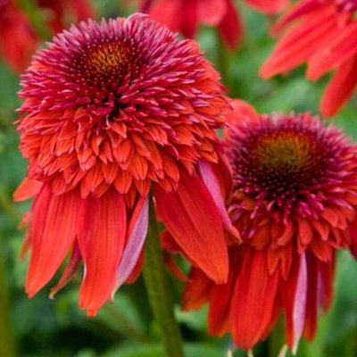 Растения! Выгодные цены! Ограниченное количество! Выбор! — Эхинацея — Декоративноцветущие